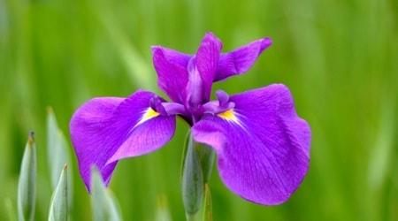 単語の節句には菖蒲の花を飾る