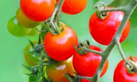 ミニトマトを育てる