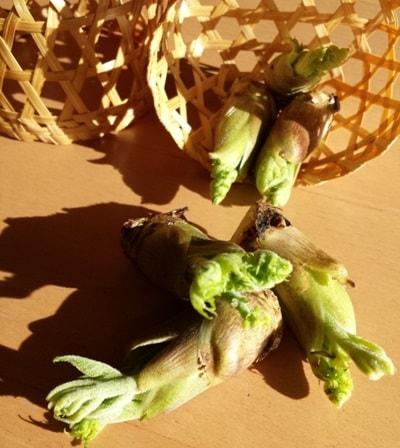 山菜採りでウドの芽を採る
