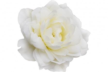 父の日に白いバラを贈る