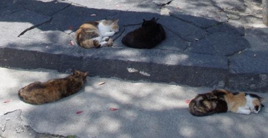 厳島神社の鳥居下の猫