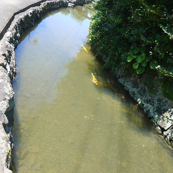 藍場川に魚がいる