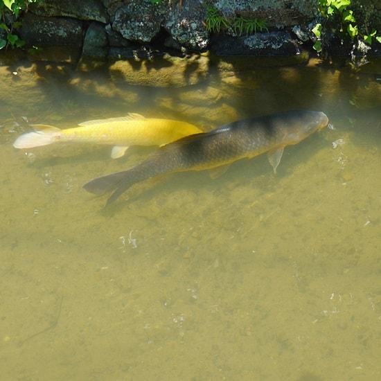 藍場川1の黒鯉