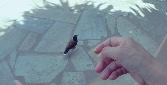 西オアフのコオリナで小鳥にゴハンつぶをやる